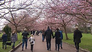 """Verdensberømte kirsebærtræer springer ud nu: Sådan er """"besøgs-reglerne"""""""